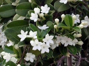 stephanotis flowers 2.jpg